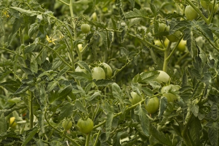 Unripe tomatoes growing on the vine photo