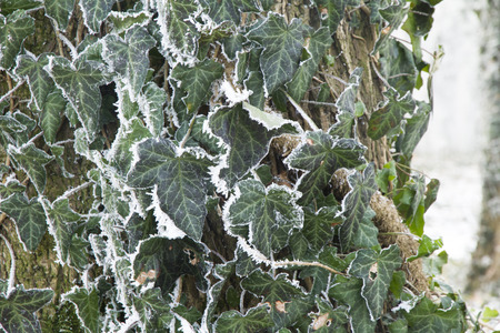 Frosty vine leaves