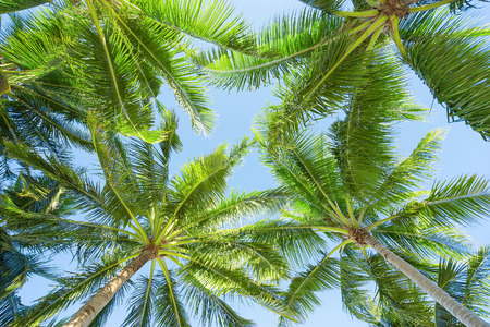 below: Coconut trees from below angle. Stock Photo
