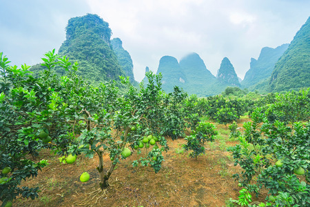 The Shaddock trees ,Citrus maxima, grow plentifully in Yangshuo region in Guangxi province in China.