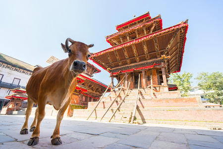 Kathmandu Durbar Square, one of three Durbar (royal palace) Squares in the Kathmandu Valley. Damaged in the April 2015 Nepal earthquake. Focus on cow.