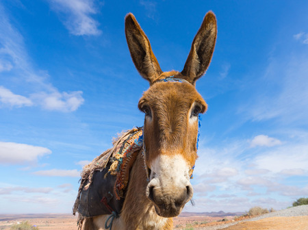 Donkey, farm animal in the Moroccan countryside. Blue sky on background