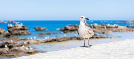 Seagull on the shore. Close up view of white birds seagulls. Banner. Standard-Bild