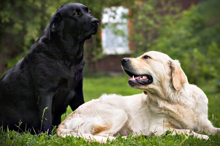 labrador teeth: Black dog and white dog, on green grass