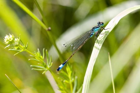 Blue dragonfly on pond, on beautiful blurred nature green background