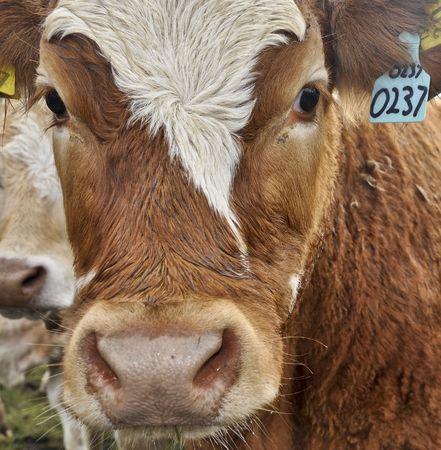 cuero vaca: vaca elefante en una granja de campo verde en Irlanda Foto de archivo