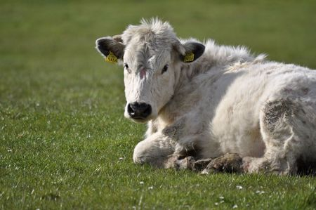 heffer: close up of cow bull in green farm field Stock Photo
