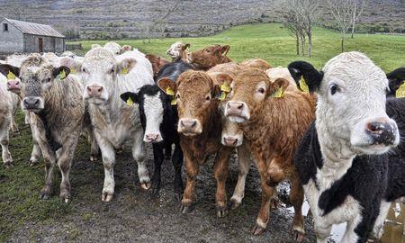 cow bull in a green farm field in ireland photo