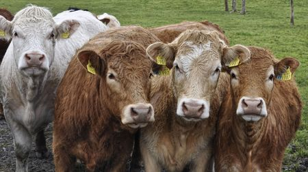 fresian: cow bull in a green farm field in ireland Stock Photo