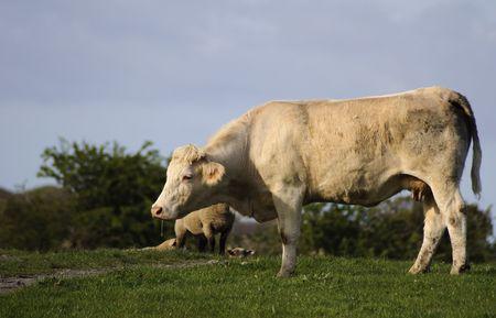 heffer: cow bull in a green farm field in ireland Stock Photo