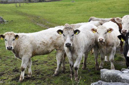 heffer: cow bull posing in a green field