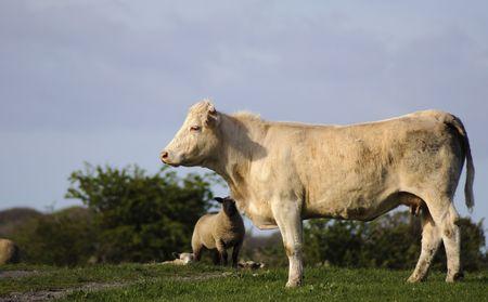 heffer: white cow bull in green farm field