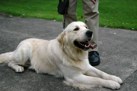 golden retriever outside relaxing with tongue out photo