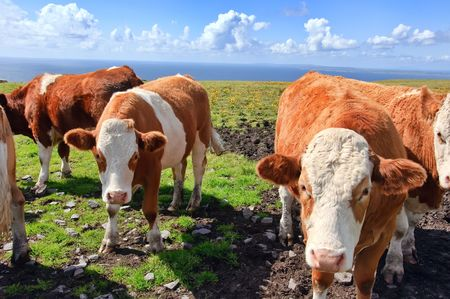 vibrant stock photo of cowsbulls over looking the ocean photo