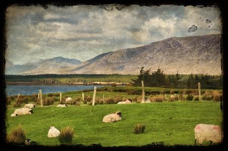 photo grunge sheep on a farm field in rural ireland Stock Photo - 7610218