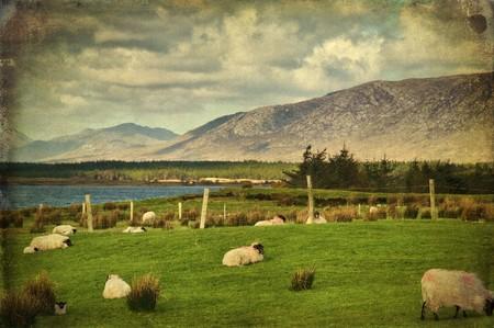 grunge photo sheep on a farm field in remote connemara, west ireland photo