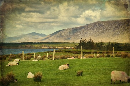grunge photo sheep on a farm field in remote connemara, west ireland Stock Photo - 7613395