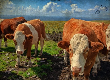 heffer: grunge vibrant stock photo of cowsbulls over looking the ocean Stock Photo