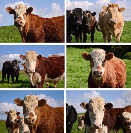photo close up portrait cows in a farm field photo