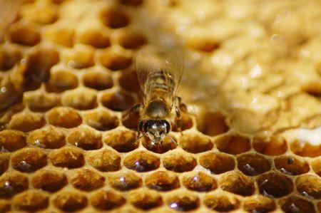 mellifera: Honeybee