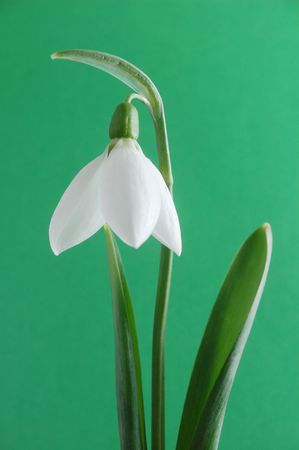 snowdrop on green background Banque d'images