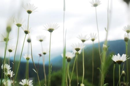beautiful summer wild ox-eye daisy meadow in the Carpathian mountains, Romania.