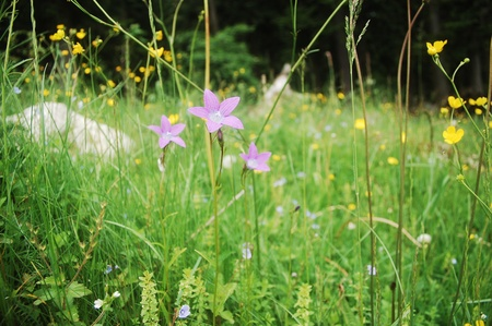 Dense vegetation in the Carpathian mountains, focused on purple bell-flower.