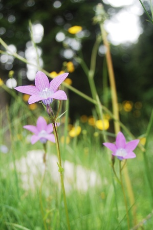 bell-flower in a mountain meadow, in the Carpathian mountains Banque d'images