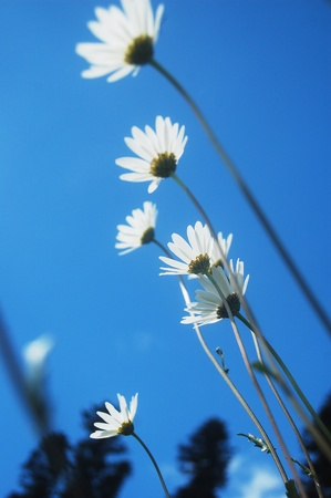 Beautiful bright white ox-eye daisy and blue sky in the carpathian mountains