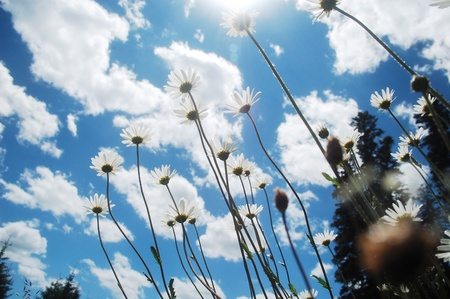beautiful summer wild ox-eye daisy in the Carpathian mountains, Romania.