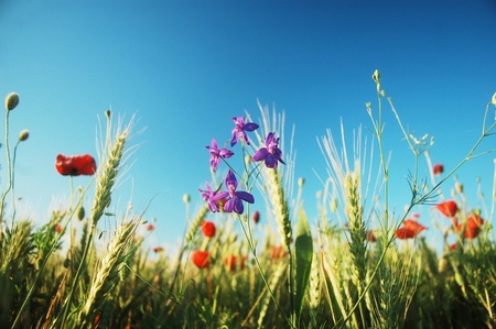 a lot of beautiful wildflowers are growing on this field cultivated with wheat