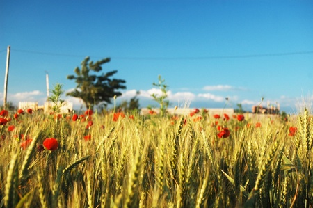 a lot of beautiful wildflowers are growing on this field cultivated with wheat, here are the red poppies. romania 2010