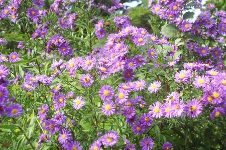 a natural background of beautiful purple flowers