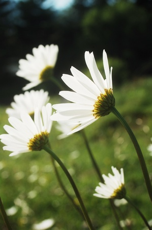 beautiful bright white marguerites in the Carpathian mountains.