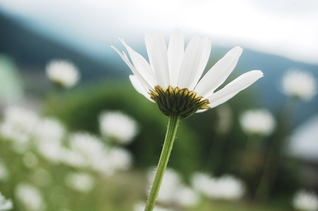 close up of a marguerite flower growing on a pasture in the Carpathian mountains, Romania photo