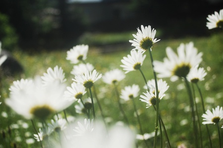 ox-eye daisy meadow on a pasture in the Carpathian mountains, Romania Banque d'images