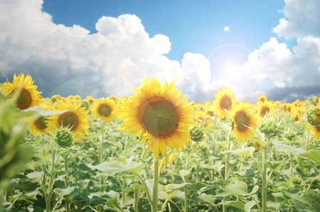 An amazing cultivated sunflower field Banque d'images