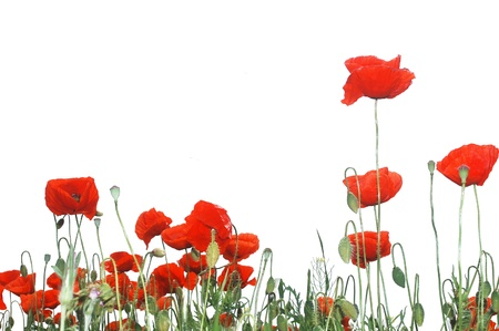 Wild red poppies isolated on white background.