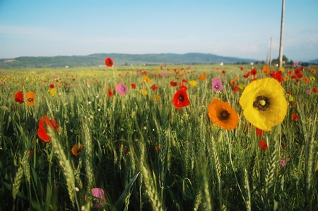 Multicolored poppies on a wheat field in Romania