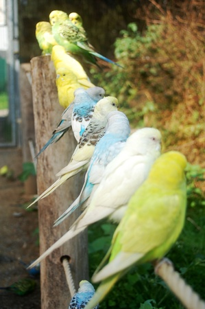 A lot of beautiful multicolored budgerigars
