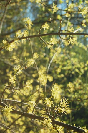 Flowering tree in early spring, in the wilderness of the Carpathian mountains