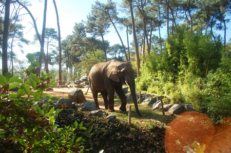 A beautiful african elephant at the Zoo de la Fleche in France
