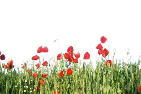 Wild red poppies isolated on white background, on a field of wheat