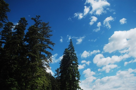 An ancient fir forest, in the Carpathian mountains