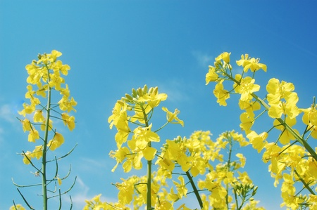 rapeseed flowers on blue sky in springtime Banque d'images