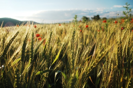summer wheat field in eastern Europe Banque d'images