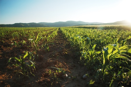 All the work on this organic corn field it s made by humans hand, a hard work for healthy food and a healthy planet