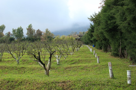 royal: Peach trees in the royal project, Thailand