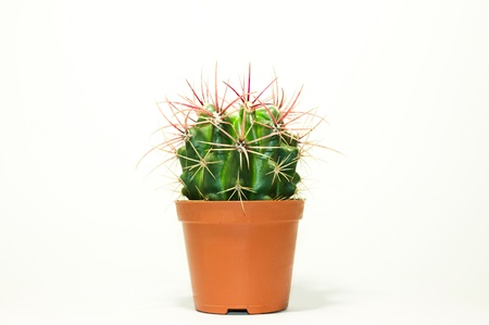 prickle: Green prickle cactus in the pot Stock Photo