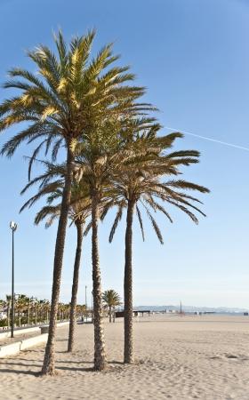Palm trees on the beach of Valencia,Spain  photo